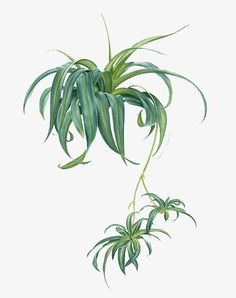Would you fancy painting of leaves as much as flowers? ☺️ The spider plant. 1 of 5 illustrations for Süddeutsche Zeitung Magazin. Plant Painting, Plant Drawing, Plant Art, Watercolor Plants, Watercolor Leaves, Watercolor And Ink, Watercolour Painting, Patio Plants, Cool Plants
