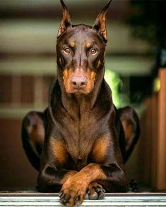 Come in here and see what part of your ass I get first. Classy Doberman