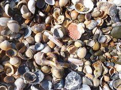 Shell Beach Shell Island, Shell Beach, Sea Shells, Seashells, Shells