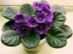 African Violet (saintpaulia ionantha): Your plant is the popular houseplant known as African Violet with lovely clusters of flowers in a rainbow of colors. Needs bright indirect light, regular water but do not allow the plant to sit in water as this may lead to root rot, and feed with a slow-release or organic fertilizer formulated for blooming container plants. Also when you water, water at the base of the plant and try not to get the water on the leaves.