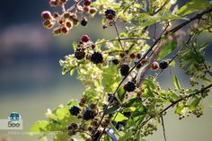 how are good .. blackberries - Pinned by Mak Khalaf how are good .. blackberries Food AbruzzoParcoParkPescarablackberriesfoodfruitmoresummersweet by lucOne_phOto