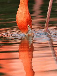 Flamingo feeding by roblind.com