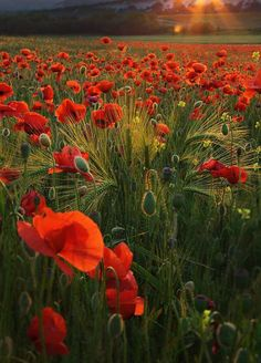 Pretty evening with poppies field, beauty!