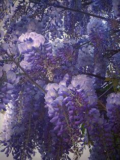 Wisteria - More Wisteria.  This kind looks like the very old Wisteria on my cottage in Fallbrook, CA.