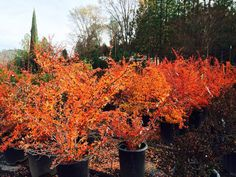 If you're looking to add some fall color to your yard but don't want a big tree, Mentor Barberry is a great option. It has brilliant colors in fall and early winter, plus it is drought-tolerant and the deer don't touch it!