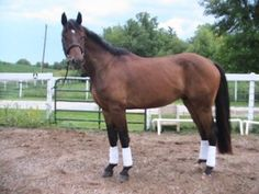 Young dressage horse for sale in Illinois