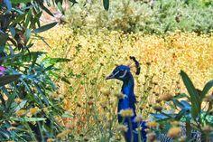 #nature #peacock #Crete #Greece
