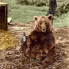 20 Images of Corporal Wojtek, the Polish Bear and Hero of WWII. Wojtek Bear, Bear Drink, Poland History, Bear Cubs, Grizzly Bears, Tiger Cubs, Tiger Tiger, Bengal Tiger, Bear Art