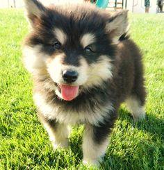 Pomsky.  Pomeranian husky mix need you