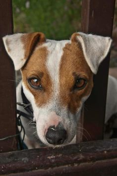 Parsons Jack Russell Terrier Puppy . . . love his coloring