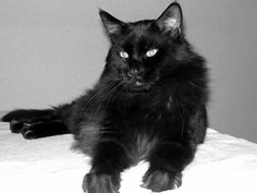 Black Maine Coon. Looks like my Ringo ... I miss him!! I definitely will be getting another Maine Coon again. Great breed!