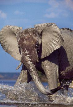 African elephant displaying aggression, Loxodonta africana, Chobe National Park, Botswana