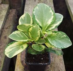 Peperomia Obtusifolia Rubber Plant Plants And Houseplants