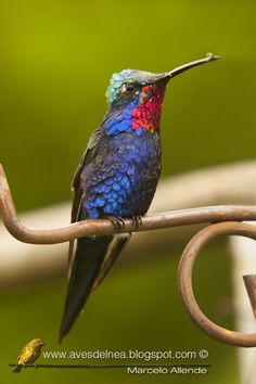Blue-tufted Starthroat, Heliomaster furcifer. Paraguay/ Colombia/ Paraguay/ Uruguay/ Argentina/ Bolivia/ Brazil