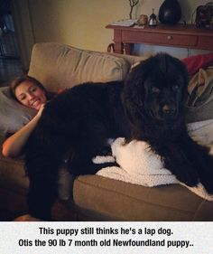 "And he'll still sit there when he is 120 lb year old ""puppy.""  Once a lap dog always a lap dog!"