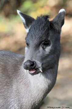 This strange creature is the Tufted Deer (Elaphodus cephalophus); a poorly studied but fascinating animal. They're named for the tuft of reddish hair that grows on their foreheads. Males have tiny antlers that barely poke through this interesting hairstyle. They're small for deer standards, only reaching 20-28 inches (50-70 cm) in height and 43-63 inches (109-160 cm) in length. They live in China & Myanmar.