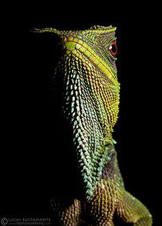 O'Shaughnessy's Dwarf Iguana (Enyalioides oshaughnessyi) | Flickr - Photo…