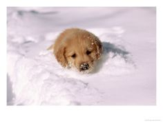 Pictures of Puppies.com - Golden retriever puppy in deep snow