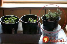 Zlepšovák pre všetkých, ktorí chcú mať veľkú úrodu domáceho zeleru: Keď skúsite raz, všetky priesady už budete pestovať len takto! Philz Coffee, Coffee Cups, Planter Pots, Food, Coffee Mugs, Essen, Coffee Cup, Meals, Yemek