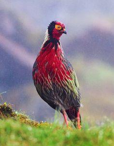 El faisán ensangrentado (Ithaginis cruentus) El nombre de la especie viene del color rojo vivo en las plumas del pecho, de la garganta y de la frente de los machos. La coloración de las hembras es más uniformemente rojiza. Los machos y las hembras tienen un anillo distinto de piel alrededor del ojo que es de color carmesí, además de pies rojos. Las subespecies son determinadas por cantidades que varían de plumas rojas y negras.