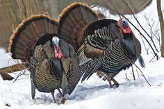 Wild turkeys  by johndykstraphotography, via Flickr