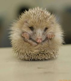 Hedgehog - It is too cute. Happy Hedgehog, Cute Hedgehog, All Gods Creatures, Cute Creatures, Mundo Animal, My Animal, Animal Pictures, Cute Pictures, Baby Animals