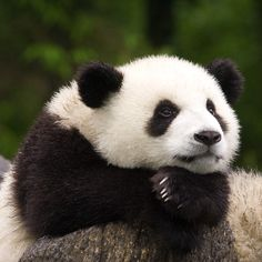 Panda - One Of The Rarest And Endangered Species On Earth ...