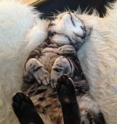 British shorthair, Brits korthaar, kittens, cat, Silver tabby blotched