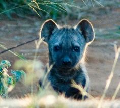 baby spotted hyena so cute