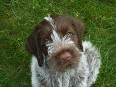 Just like Vicki's Albert - a Wire haired Pointing Griffon. Possibly too big for us?
