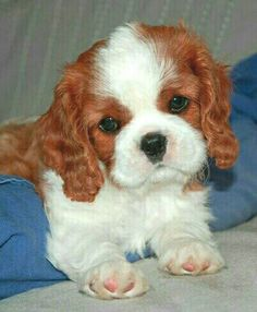 <3 Cavalier puppy