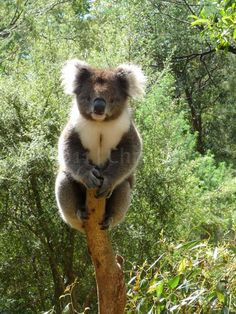 Koala - Healsville Sanctuary, Australia (and I can recommend the bakery/winery, Innocent Bystander, down the road! Nature Animals, Baby Animals, Funny Animals, Cute Animals, The Wombats, Baby Koala, Pet Birds, Animals Beautiful, Savages