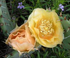 cactus flowers pictures | Prickly Pear Cactus - Opuntia sp - Fort Worth Nature Center