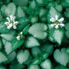 Lamium is a genus with many cultivars that are outstanding foliage plants for the shade, most notably 'White Nancy'. Ground Cover Shade, Ground Cover Plants, Sun Perennials, Herbaceous Perennials, Evergreen Groundcover, Front Flower Beds, North Garden, Shade Garden Plants, Flowers Garden