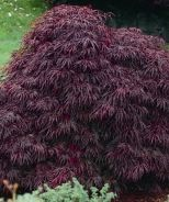 Red Dragon Japanese Maple (Acer palmatum dissectum Red Dragon) - Beautiful purple leaves are deeply dissected for an attractive lacy texture. Fall foliage is bright apple red. Focal point or accent for lightly shaded area. Just planted by pond Shade Garden, Garden Plants, Red Dragon Japanese Maple, Monrovia Plants, Hummingbird Garden, Plant Catalogs, Acer Palmatum, Red Apple, Outdoor Projects