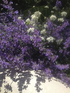 Nepeta 'Six Hills Giant', Bunium bulbocastanum, Agata Byrne, garden designer, landscape architect, award winning garden, best surprise garden in Dalkey 2012, best overall garden in Dalkey 2013, second best front garden 2014, Art House, Dalkey, Ireland, June 2014