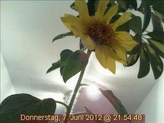 Die Webcam-Sonnenblume am Abend des 7. Juni 2012.