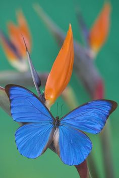 Morpho Anaxibia a gem of a butterfly difficult to find in the shrinking forests of southeastern Brazil.