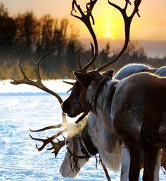 Reindeer in the winter sunset. In finland lapland Amazing Animals, Animals Beautiful, Cute Animals, Trips To Lapland, Winter Sunset, Tier Fotos, Mundo Animal, All Gods Creatures, Winter Scenes