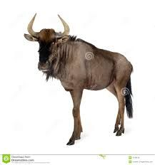 herd of wildebeest clipart - Google Search Blue Wildebeest, Moose Art, Clip Art, Animation, Stock Photos, Motion Graphics, Drawings, Animals, Image