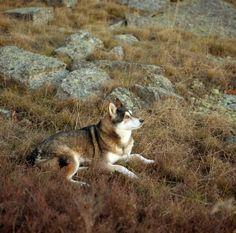 philosopher in nature husky
