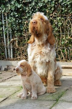 The Italian Spinone comes from Italy and was bred originally for pointing and retrieving. It's origins can be dated back to the 1200's.