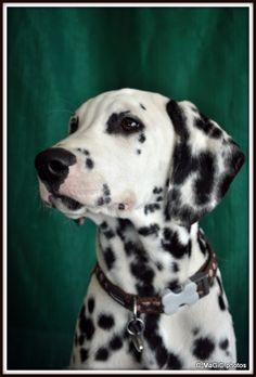 #Dalmatian puppy #dog #puppy