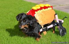 Disabled Daushhound