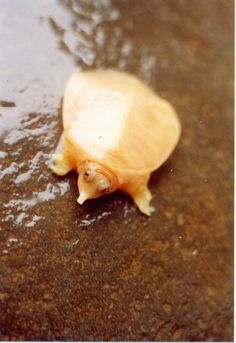 Albino Soft Shell Turtle