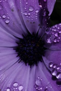 Dew Drops On Purple Flower