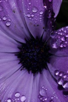 Dew Drops On Purple Flower