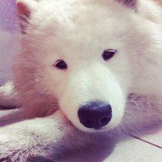 Sleepy dog! #Samoyed #Samoyedo