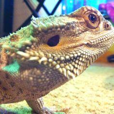 Bearded dragon Chameleons, Lizards, Time Goes Back, Dragon Family, Geckos, Crocodiles, Reptiles And Amphibians, Tortoises, Bearded Dragon