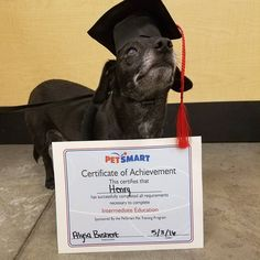 I graduated intermediate obedience training at @petsmart! Now on to advanced. #graduate #proudgraduate #graduation #graduationday #obediencetraining #petsmart #dogsingradcaps #cutedog #prouddog #prouddogmom #chiweenie #chiweenienation #chiweeniesofinstagram #dogsofig #dogsofinstagram #dogstagram #muttsofinstagram #rescuedog #blinddog #dogswithglaucoma #dontshopadopt